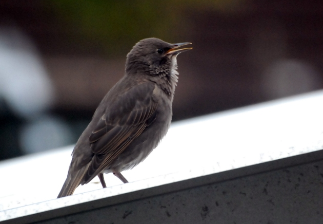 youngstarling