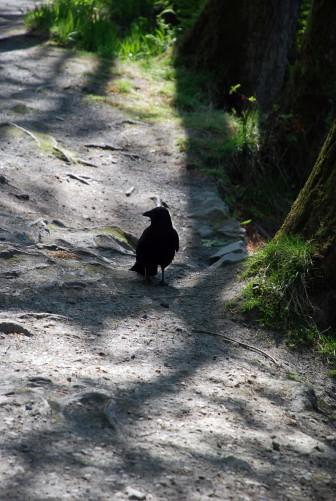 crow-aden