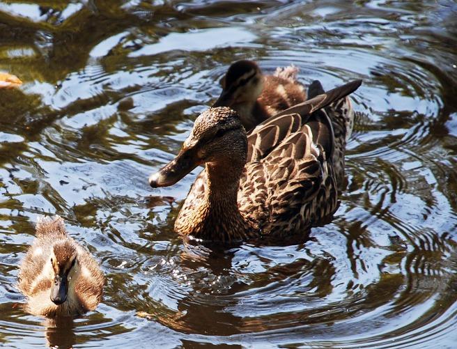 ducks-aden