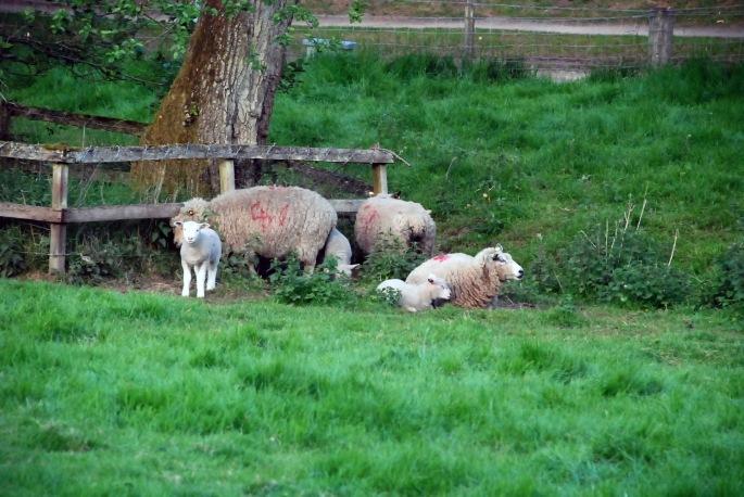 sheep sruc