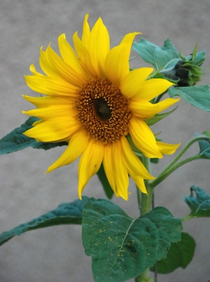 sunflower - sruc