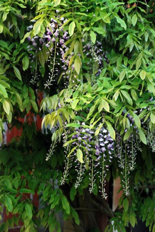 wisteria sruc